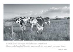 Cows at Mt. St. Michel